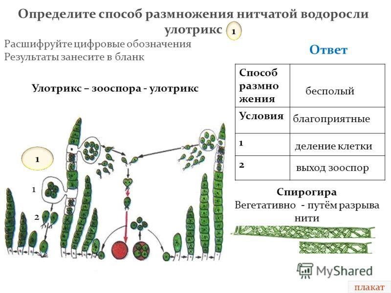 размножения нитчатой