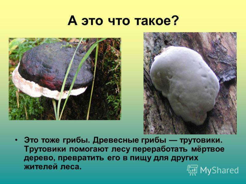 А это что такое? Это тоже грибы. Древесные грибы трутовики. Трутовики помогают лесу переработать мёртвое дерево, превратить его в пищу для других жителей леса.
