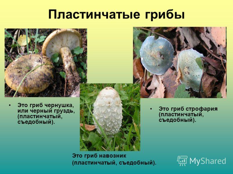 Пластинчатые грибы Это гриб чернушка, или черный груздь, (пластинчатый, съедобный). Это гриб строфария (пластинчатый, съедобный). Это гриб навозник (пластинчатый, съедобный).