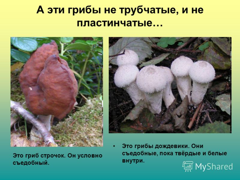 А эти грибы не трубчатые, и не пластинчатые… Это грибы дождевики. Они съедобные, пока твёрдые и белые внутри. Это гриб строчок. Он условно съедобный.