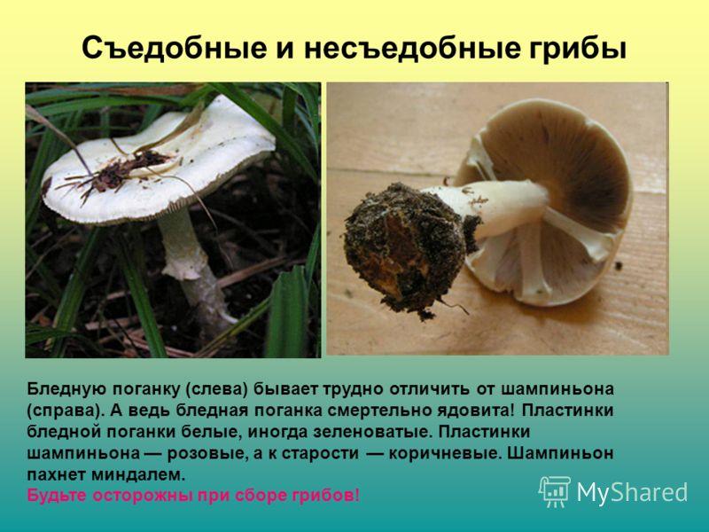 Съедобные и несъедобные грибы Бледную поганку (слева) бывает трудно отличить от шампиньона (справа). А ведь бледная поганка смертельно ядовита! Пластинки бледной поганки белые, иногда зеленоватые. Пластинки шампиньона розовые, а к старости коричневые
