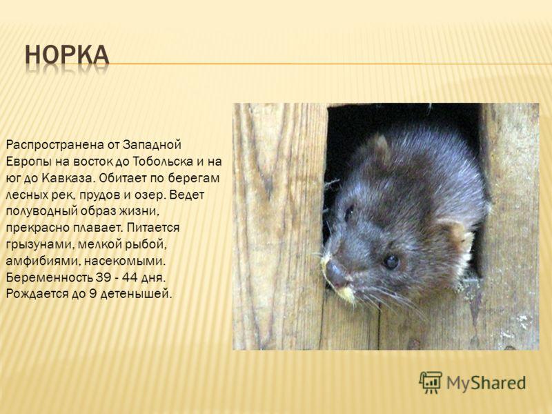 Распространена от Западной Европы на восток до Тобольска и на юг до Кавказа. Обитает по берегам лесных рек, прудов и озер. Ведет полуводный образ жизни, прекрасно плавает. Питается грызунами, мелкой рыбой, амфибиями, насекомыми. Беременность 39 - 44