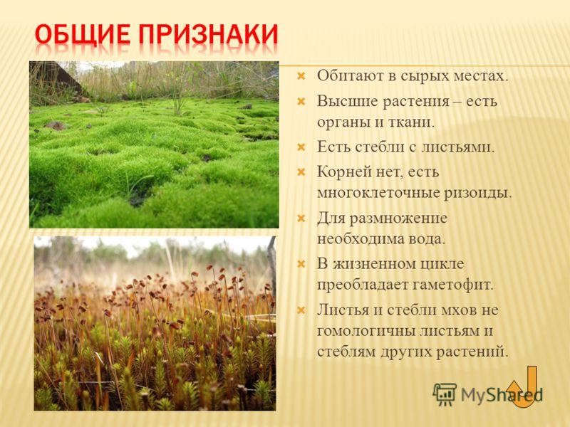 Обитают в сырых местах. Высшие растения – есть органы и ткани. Есть стебли с листьями. Корней нет, есть многоклеточные ризоиды. Для размножение необходима вода. В жизненном цикле преобладает гаметофит. Листья и стебли мхов не гомологичны листьям и ст