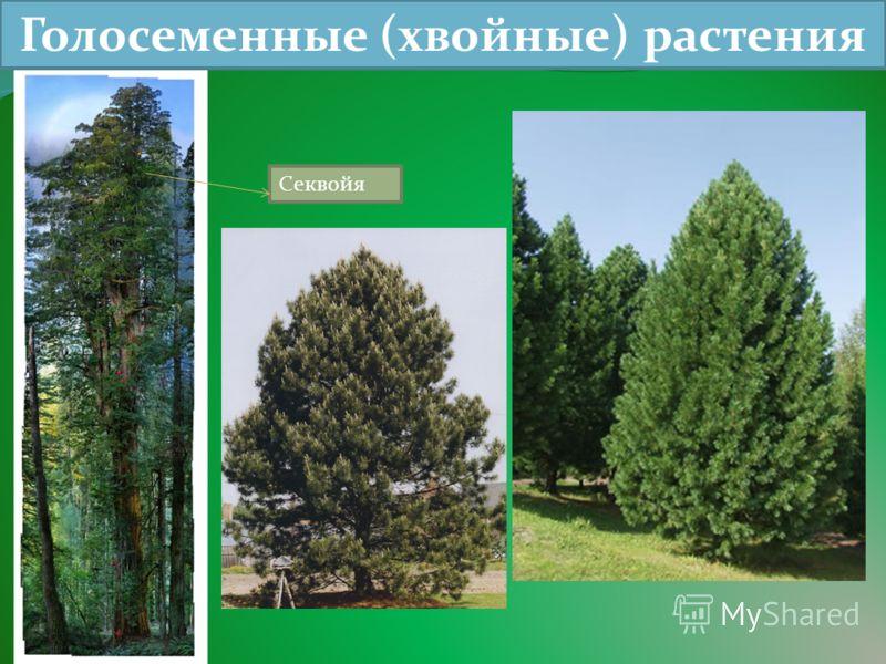 Голосеменные (хвойные) растения Секвойя