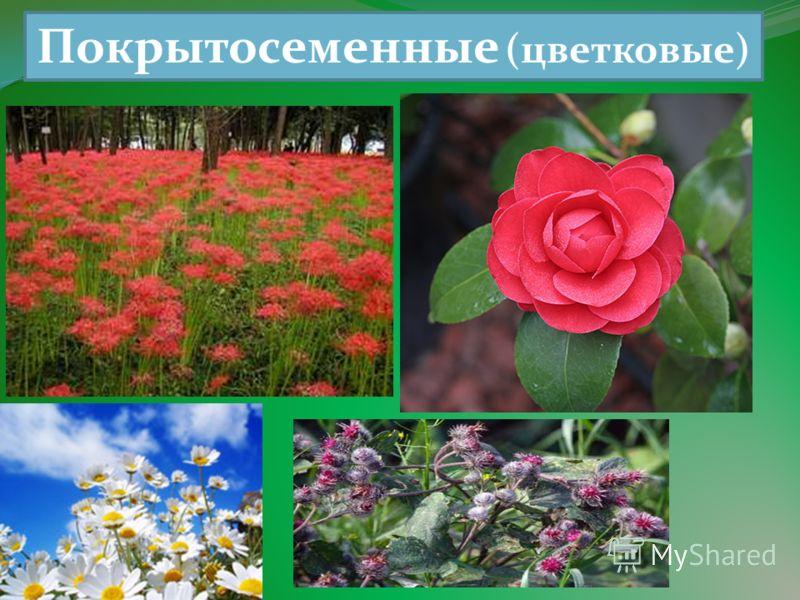 Покрытосеменные (цветковые)