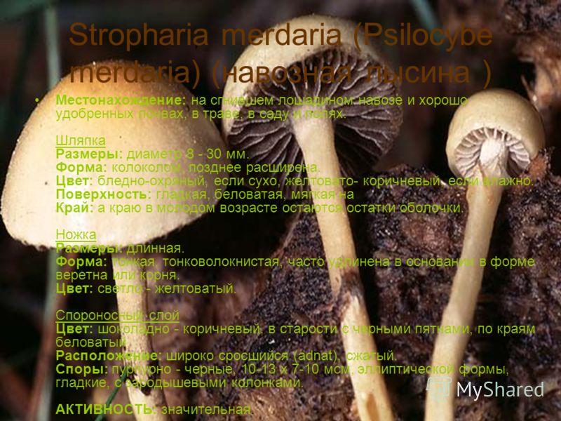 Stropharia merdaria (Psilocybe merdaria) (навозная лысина ) Местонахождение: на сгнившем лошадином навозе и хорошо удобренных почвах, в траве, в саду и полях. Шляпка Размеры: диаметр 8 - 30 мм. Форма: колоколом, позднее расширена. Цвет: бледно-охряны