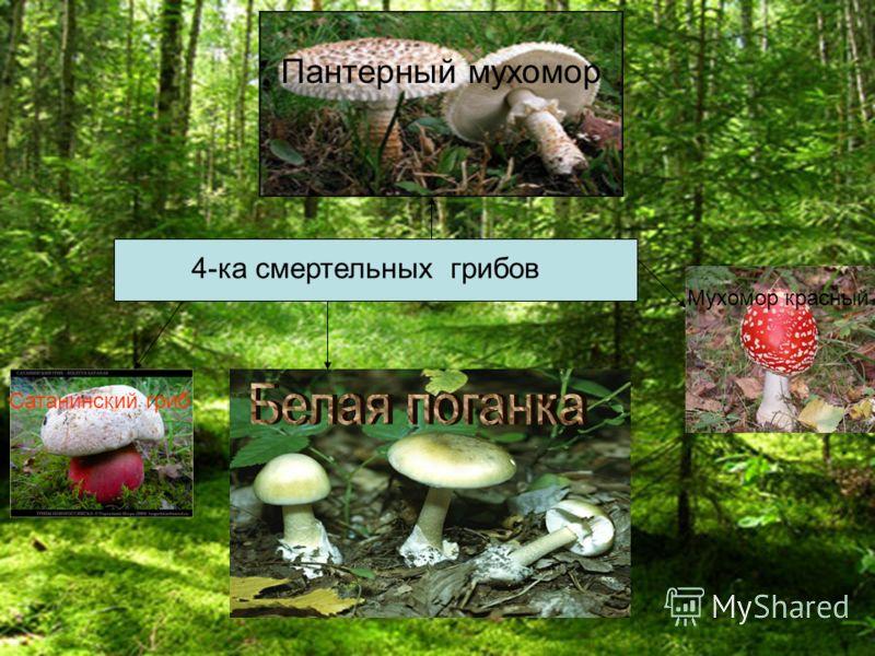 4-ка смертельных грибов Пантерный мухомор Мухомор красный Сатанинский гриб