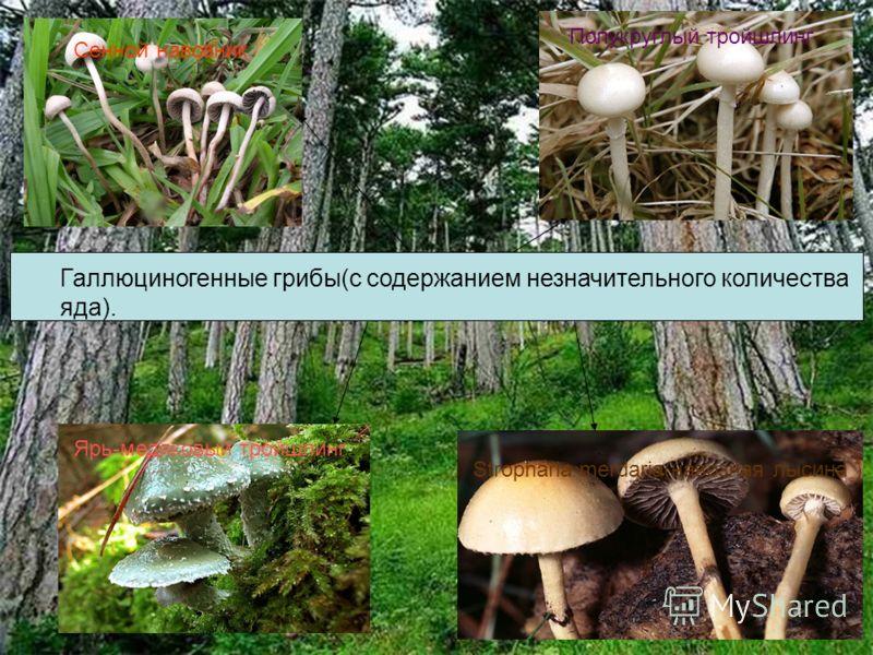 Белый гриб Сенной навозник Полукруглый тройшлинг Ярь-медяковый тройшлинг Галлюциногенные грибы(с содержанием незначительного количества яда). Stropharia merdaria(навозная лысина )