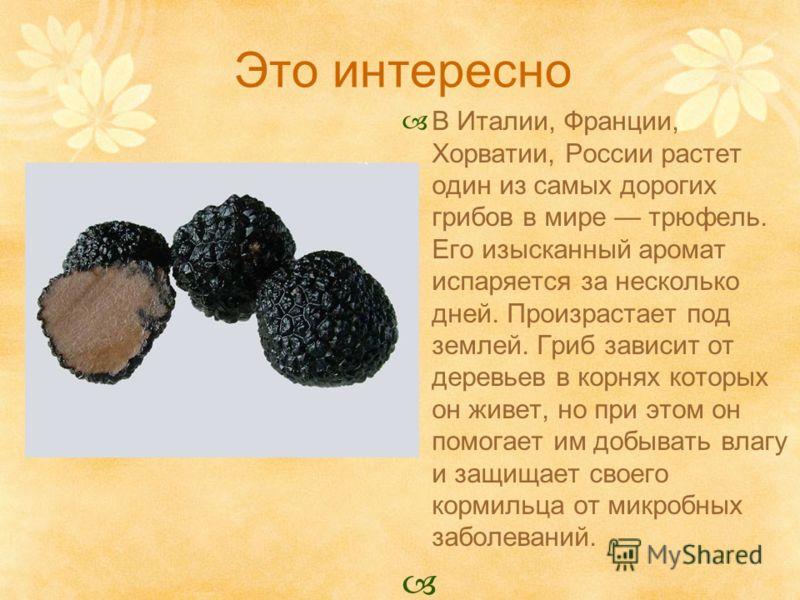 Это интересно В Италии, Франции, Хорватии, России растет один из самых дорогих грибов в мире трюфель. Его изысканный аромат испаряется за несколько дней. Произрастает под землей. Гриб зависит от деревьев в корнях которых он живет, но при этом он помо