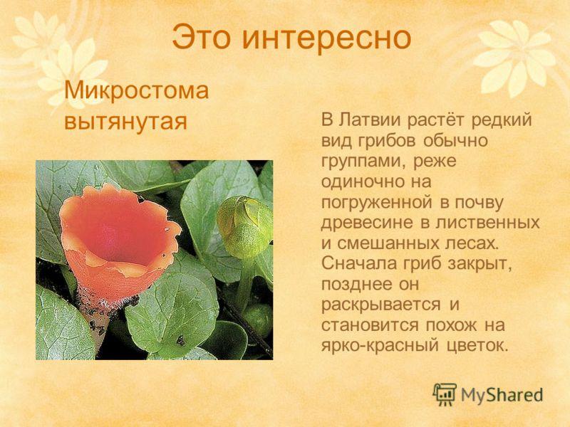 Это интересно В Латвии растёт редкий вид грибов обычно группами, реже одиночно на погруженной в почву древесине в лиственных и смешанных лесах. Сначала гриб закрыт, позднее он раскрывается и становится похож на ярко-красный цветок. Микростома вытянут