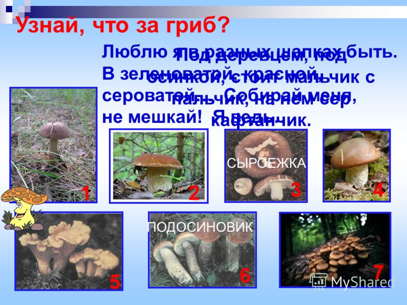 Узнай, что за гриб? Люблю я в разных шапках быть. В зеленоватой, красной, сероватой… Собирай меня, не мешкай! Я ведь… Под деревцем, под осинкой, стоит мальчик с пальчик, на нем сер кафтанчик. ПОДОСИНОВИК СЫРОЕЖКА 12 34 5 6 7