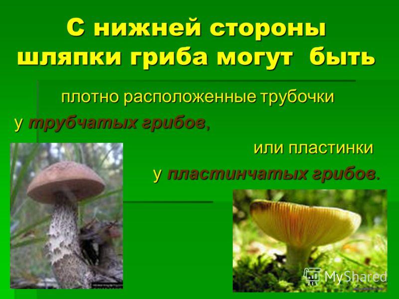 С нижней стороны шляпки гриба могут быть плотно расположенные трубочки у трубчатых грибов, или пластинки или пластинки у пластинчатых грибов. у пластинчатых грибов.