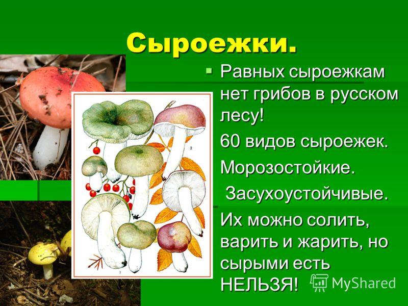 Сыроежки. Сыроежки. Равных сыроежкам нет грибов в русском лесу! Равных сыроежкам нет грибов в русском лесу! 60 видов сыроежек. 60 видов сыроежек. Морозостойкие. Морозостойкие. Засухоустойчивые. Засухоустойчивые. Их можно солить, варить и жарить, но с