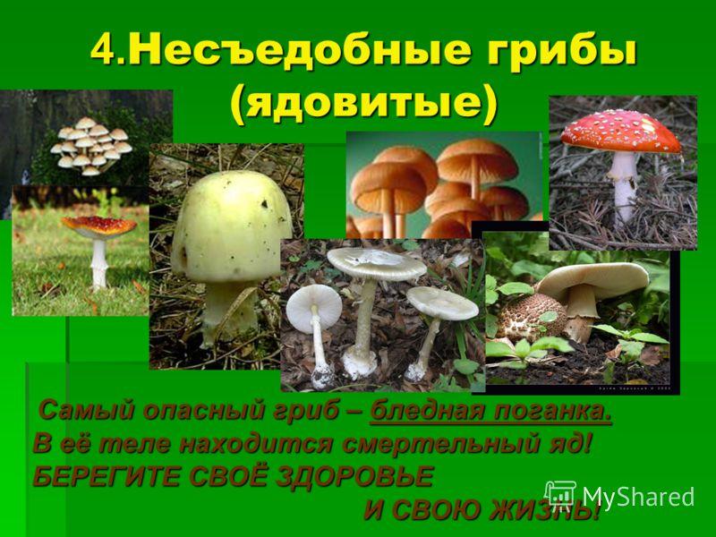 4. Несъедобные грибы (ядовитые) Самый опасный гриб – бледная поганка. Самый опасный гриб – бледная поганка. В её теле находится смертельный яд! БЕРЕГИТЕ СВОЁ ЗДОРОВЬЕ И СВОЮ ЖИЗНЬ! И СВОЮ ЖИЗНЬ!