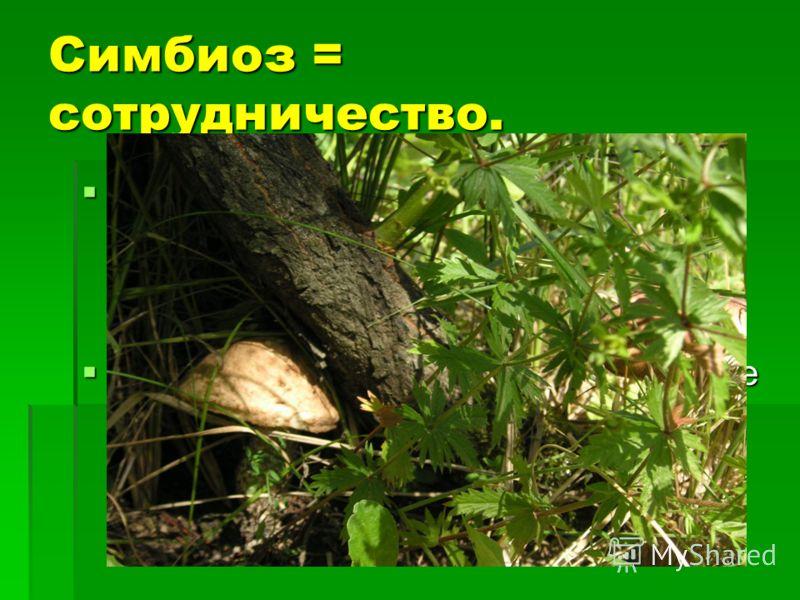 Симбиоз = сотрудничество. Установлено, что молодые деревья лучше приживаются, не болеют, если вместе с ними рассеивают споры грибов. Установлено, что молодые деревья лучше приживаются, не болеют, если вместе с ними рассеивают споры грибов. Для нормал