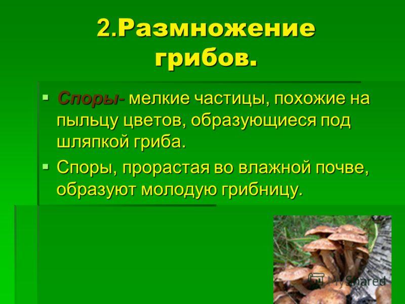 2. Размножение грибов. Споры- мелкие частицы, похожие на пыльцу цветов, образующиеся под шляпкой гриба. Споры- мелкие частицы, похожие на пыльцу цветов, образующиеся под шляпкой гриба. Споры, прорастая во влажной почве, образуют молодую грибницу. Спо