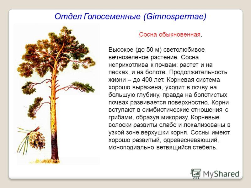 Отдел Голосеменные (Gimnospermae) Сосна обыкновенная. Высокое (до 50 м) светолюбивое вечнозеленое растение. Сосна неприхотлива к почвам: растет и на песках, и на болоте. Продолжительность жизни – до 400 лет. Корневая система хорошо выражена, уходит в