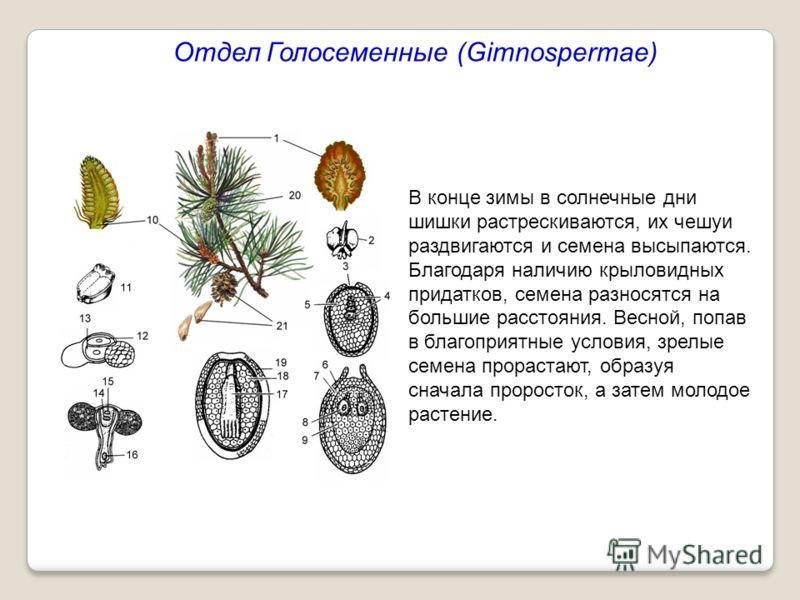 Отдел Голосеменные (Gimnospermae) В конце зимы в солнечные дни шишки растрескиваются, их чешуи раздвигаются и семена высыпаются. Благодаря наличию крыловидных придатков, семена разносятся на большие расстояния. Весной, попав в благоприятные условия,