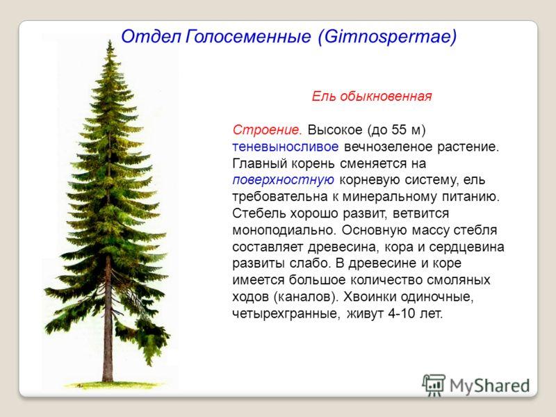 Ель обыкновенная Строение. Высокое (до 55 м) теневыносливое вечнозеленое растение. Главный корень сменяется на поверхностную корневую систему, ель требовательна к минеральному питанию. Стебель хорошо развит, ветвится моноподиально. Основную массу сте
