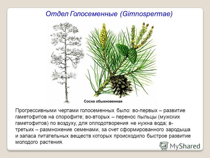 Прогрессивными чертами голосеменных было: во-первых – развитие гаметофитов на спорофите; во-вторых – перенос пыльцы (мужских гаметофитов) по воздуху, для оплодотворения не нужна вода; в- третьих – размножение семенами, за счет сформированного зародыш