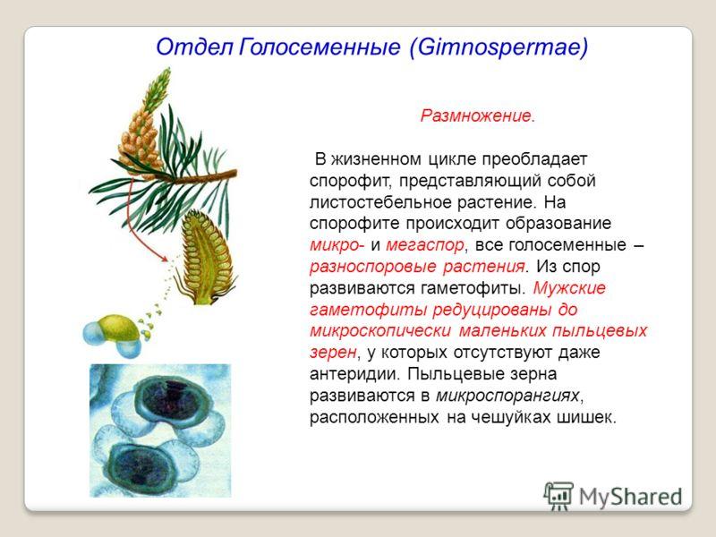 Отдел Голосеменные (Gimnospermae) Размножение. В жизненном цикле преобладает спорофит, представляющий собой листостебельное растение. На спорофите происходит образование микро- и мегаспор, все голосеменные – разноспоровые растения. Из спор развиваютс