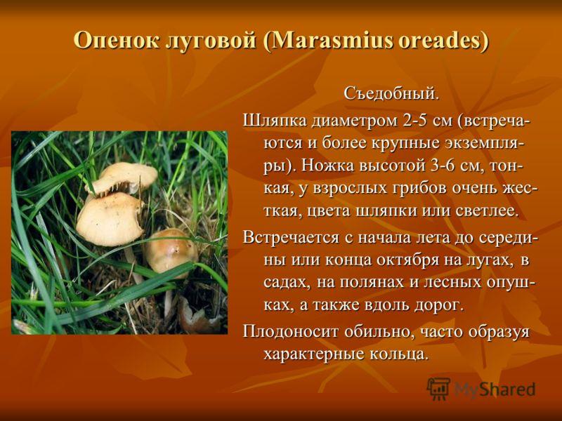 Опенок луговой (Marasmius oreades) Съедобный. Шляпка диаметром 2-5 см (встреча- ются и более крупные экземпля- ры). Ножка высотой 3-6 см, тон- кая, у взрослых грибов очень жес- ткая, цвета шляпки или светлее. Встречается с начала лета до середи- ны и