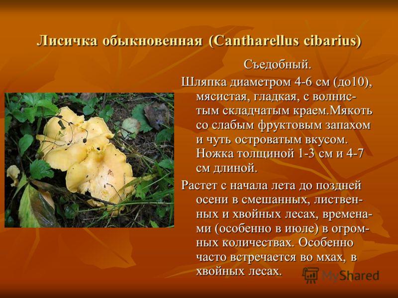 Лисичка обыкновенная (Cantharellus cibarius) Съедобный. Шляпка диаметром 4-6 см (до10), мясистая, гладкая, с волнис- тым складчатым краем.Мякоть со слабым фруктовым запахом и чуть островатым вкусом. Ножка толщиной 1-3 см и 4-7 см длиной. Растет с нач