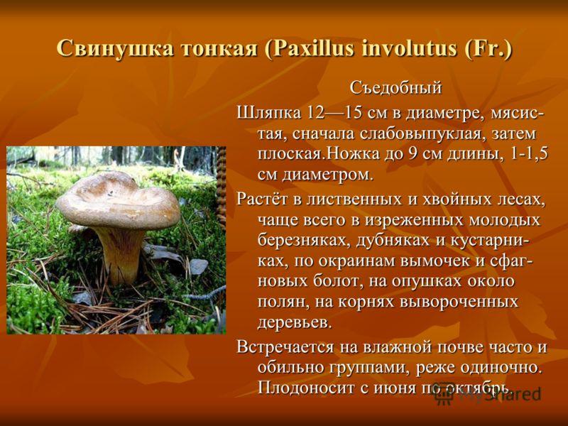 Свинушка тонкая (Paxillus involutus (Fr.) Съедобный Съедобный Шляпка 1215 см в диаметре, мясис- тая, сначала слабовыпуклая, затем плоская.Ножка до 9 см длины, 1-1,5 см диаметром. Растёт в лиственных и хвойных лесах, чаще всего в изреженных молодых бе