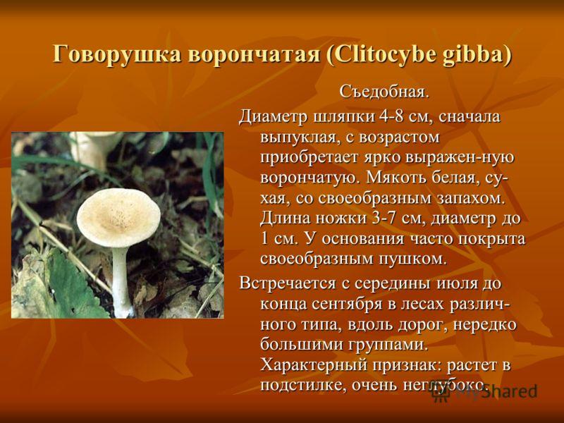 Говорушка ворончатая (Clitocybe gibba) Съедобная. Диаметр шляпки 4-8 см, сначала выпуклая, с возрастом приобретает ярко выражен-ную ворончатую. Мякоть белая, су- хая, со своеобразным запахом. Длина ножки 3-7 см, диаметр до 1 см. У основания часто пок