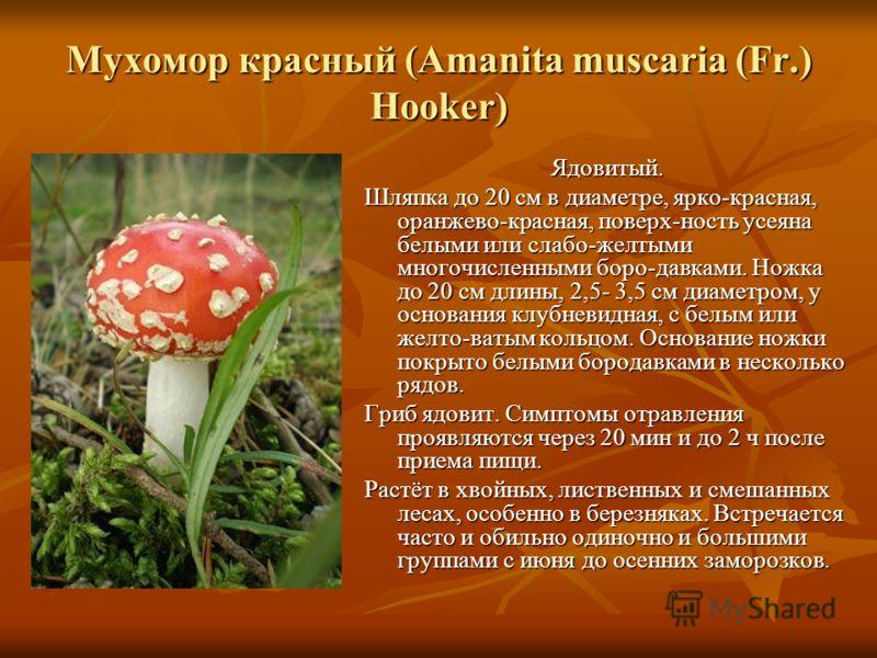 Мухомор красный (Amanita muscaria (Fr.) Hooker) Ядовитый. Шляпка до 20 см в диаметре, ярко-красная, оранжево-красная, поверх-ность усеяна белыми или слабо-желтыми многочисленными боро-давками. Ножка до 20 см длины, 2,5- 3,5 см диаметром, у основания