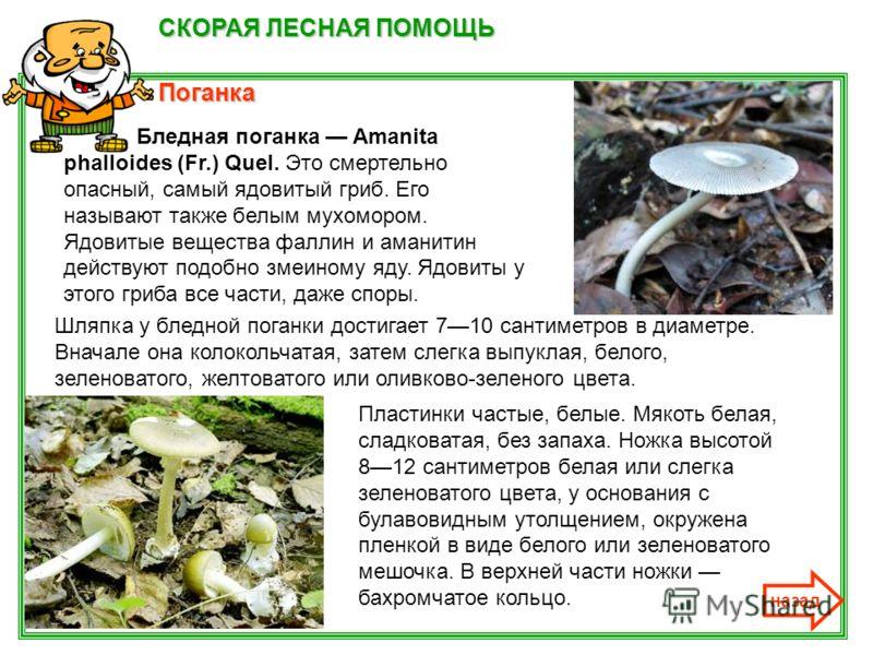 СКОРАЯ ЛЕСНАЯ ПОМОЩЬ Поганка назад Бледная поганка Amanita phalloides (Fr.) Quel. Это смертельно опасный, самый ядовитый гриб. Его называют также белым мухомором. Ядовитые вещества фаллин и аманитин действуют подобно змеиному яду. Ядовиты у этого гри