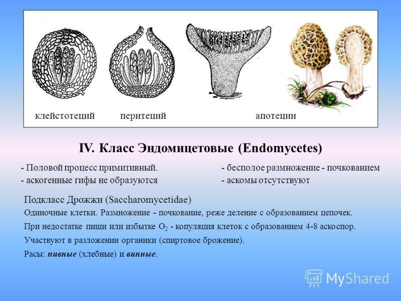 клейстотеций перитеций апотеции IV. Класс Эндомицетовые (Endomycetes) - Половой процесс примитивный. - бесполое размножение - почкованием - аскогенные гифы не образуются- аскомы отсутствуют Подкласс Дрожжи (Saccharomycetidae) Одиночные клетки. Размно