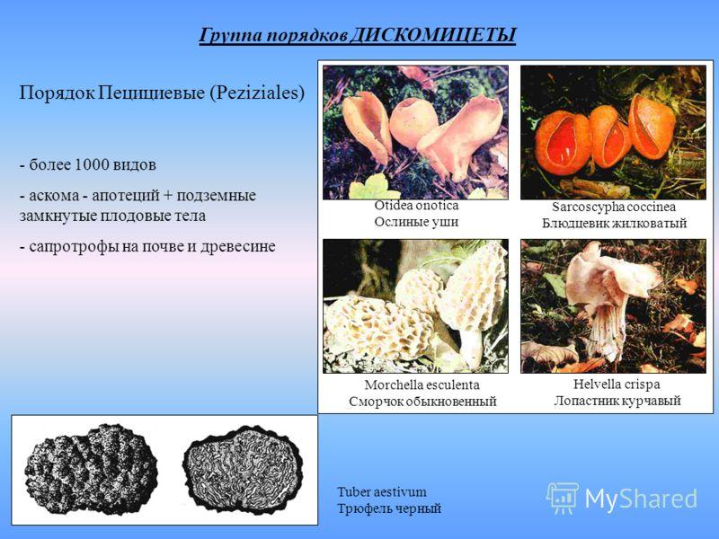 Группа порядков ДИСКОМИЦЕТЫ Порядок Пецициевые (Peziziales) - более 1000 видов - аскома - апотеций + подземные замкнутые плодовые тела - сапротрофы на почве и древесине Tuber aestivum Трюфель черный Helvella crispa Лопастник курчавый Morchella escule