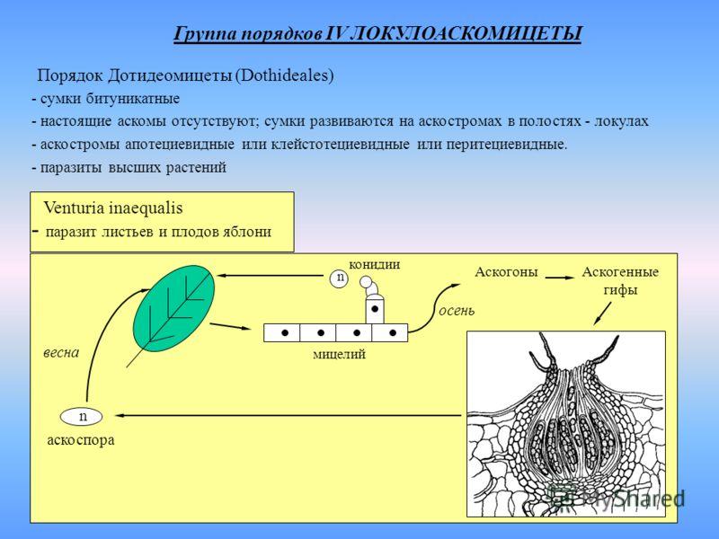 Группа порядков IV ЛОКУЛОАСКОМИЦЕТЫ Порядок Дотидеомицеты (Dothideales) - сумки битуникатные - настоящие аскомы отсутствуют; сумки развиваются на аскостромах в полостях - локулах - аскостромы апотециевидные или клейстотециевидные или перитециевидные.