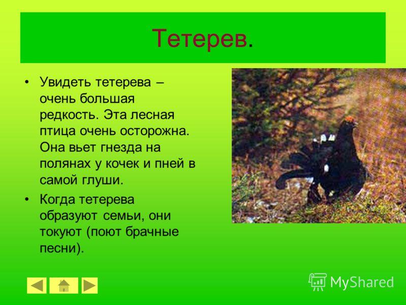 Лось. Лоси – это самые крупные травоядные животные в русских лесах. Им требуется много корма, поэтому в поисках еды они могут преодолевать расстояния в сотни километров. В питомниках и заповедниках люди организуют для них кормушки.