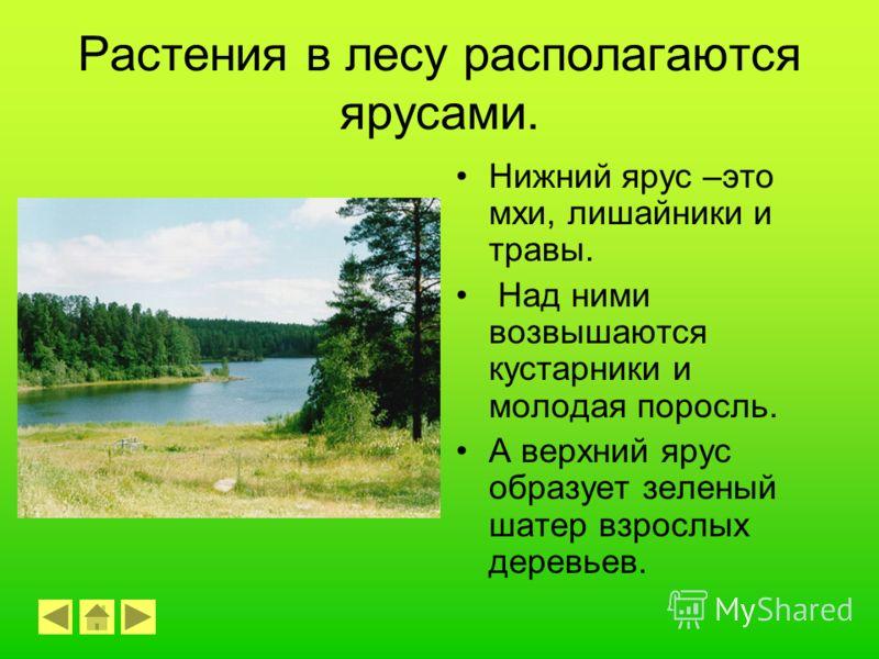 Густые, непроходимые хвойные леса называются тайгой.