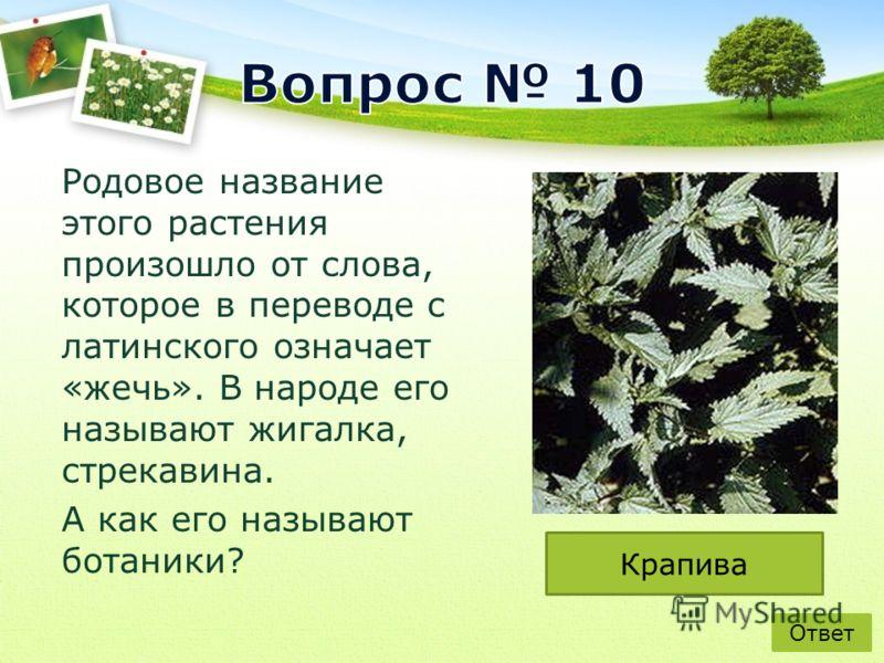 Родовое название этого растения произошло от слова, которое в переводе с латинского означает «жечь». В народе его называют жигалка, стрекавина. А как его называют ботаники? Ответ Крапива