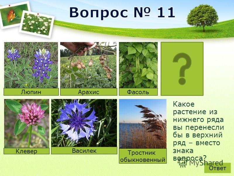 Какое растение из нижнего ряда вы перенесли бы в верхний ряд – вместо знака вопроса? Люпин АрахисФасоль Василек Тростник обыкновенный Ответ Клевер
