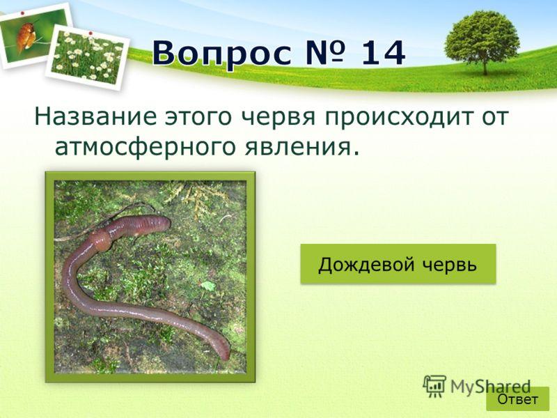 Название этого червя происходит от атмосферного явления. Ответ Дождевой червь