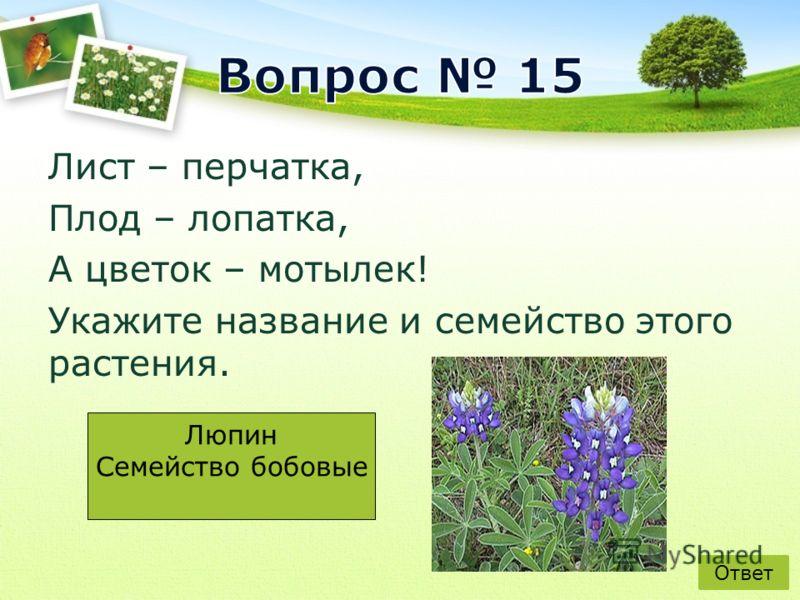 Лист – перчатка, Плод – лопатка, А цветок – мотылек! Укажите название и семейство этого растения. Ответ Люпин Семейство бобовые