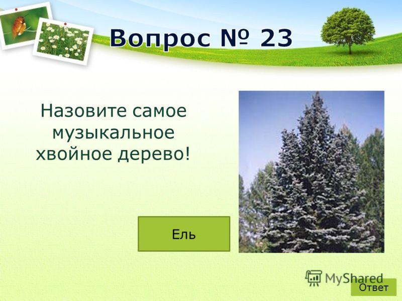 Назовите самое музыкальное хвойное дерево! Ответ Ель
