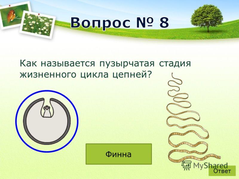 Как называется пузырчатая стадия жизненного цикла цепней? Ответ Финна