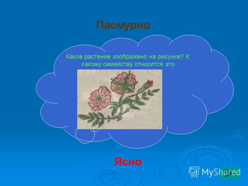 Какое растение изображено на рисунке? К какому семейству относится это растение? Ясно