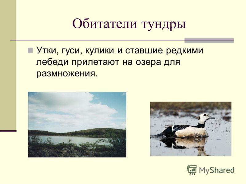 Обитатели тундры Утки, гуси, кулики и ставшие редкими лебеди прилетают на озера для размножения.