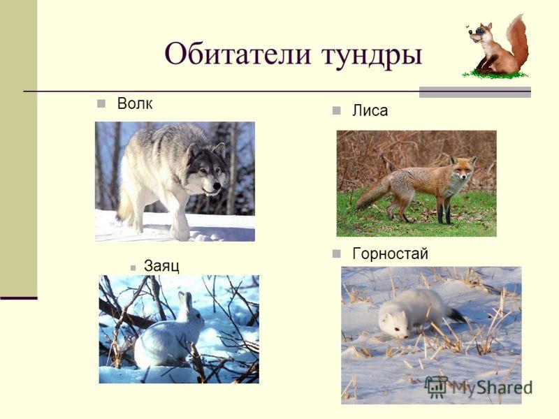 Обитатели тундры Волк Лиса Заяц Горностай