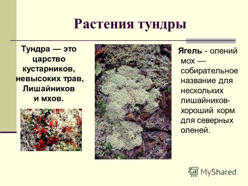 Растения тундры Ягель - олений мох собирательное название для нескольких лишайников- хороший корм для северных оленей. Тундра это царство кустарников, невысоких трав, Лишайников и мхов.