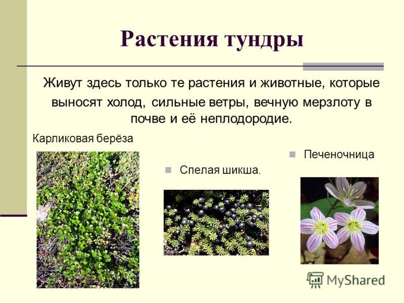 Растения тундры Спелая шикша. Печеночница Живут здесь только те растения и животные, которые выносят холод, сильные ветры, вечную мерзлоту в почве и её неплодородие. Карликовая берёза