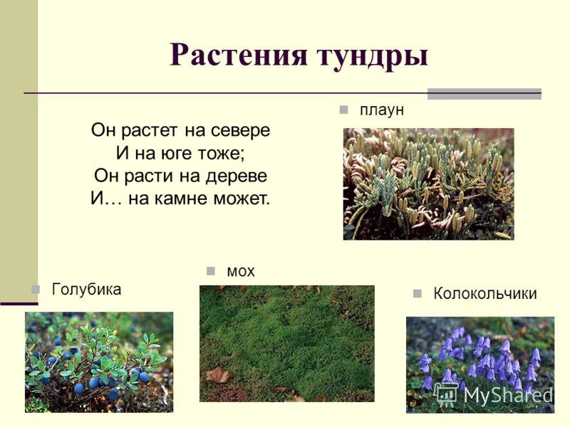 Растения тундры плаун мох Голубика Колокольчики Он растет на севере И на юге тоже; Он расти на дереве И… на камне может.