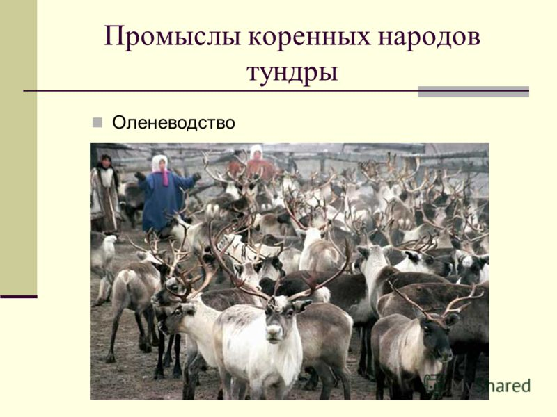Промыслы коренных народов тундры Оленеводство