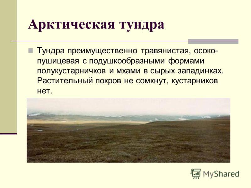 Арктическая тундра Тундра преимущественно травянистая, осоко- пушицевая с подушкообразными формами полукустарничков и мхами в сырых западинках. Растительный покров не сомкнут, кустарников нет.